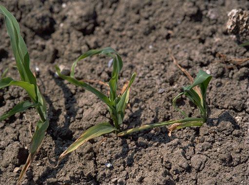 misvormde planten door Fritvlieg in mais