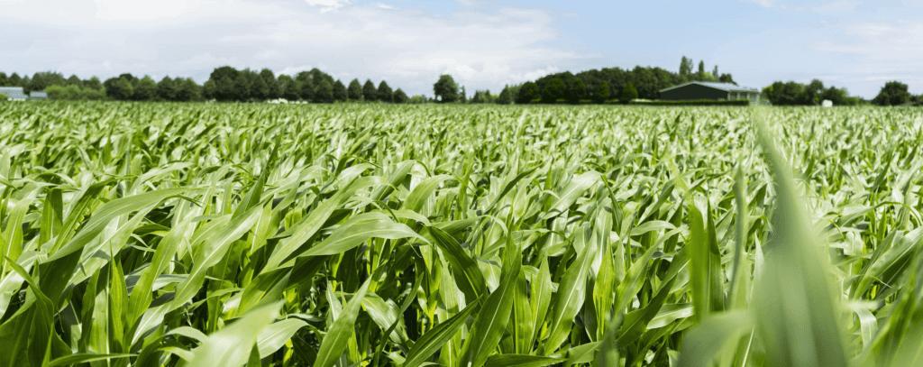 bemesting maisland mais vegetatief