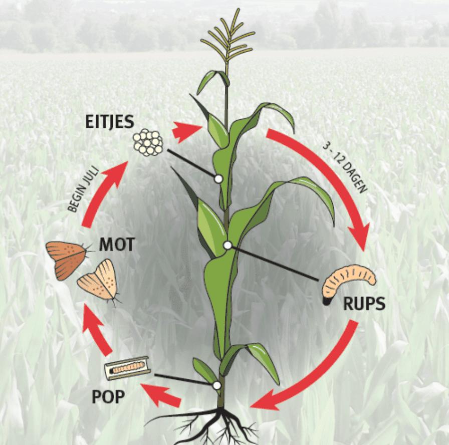 Levenscyclus van de mot bij maisstengelboorder