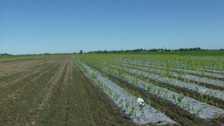 door snelle opwarming van de bodem heeft mais onder folie een ruime voorsprong in ontwikkeling